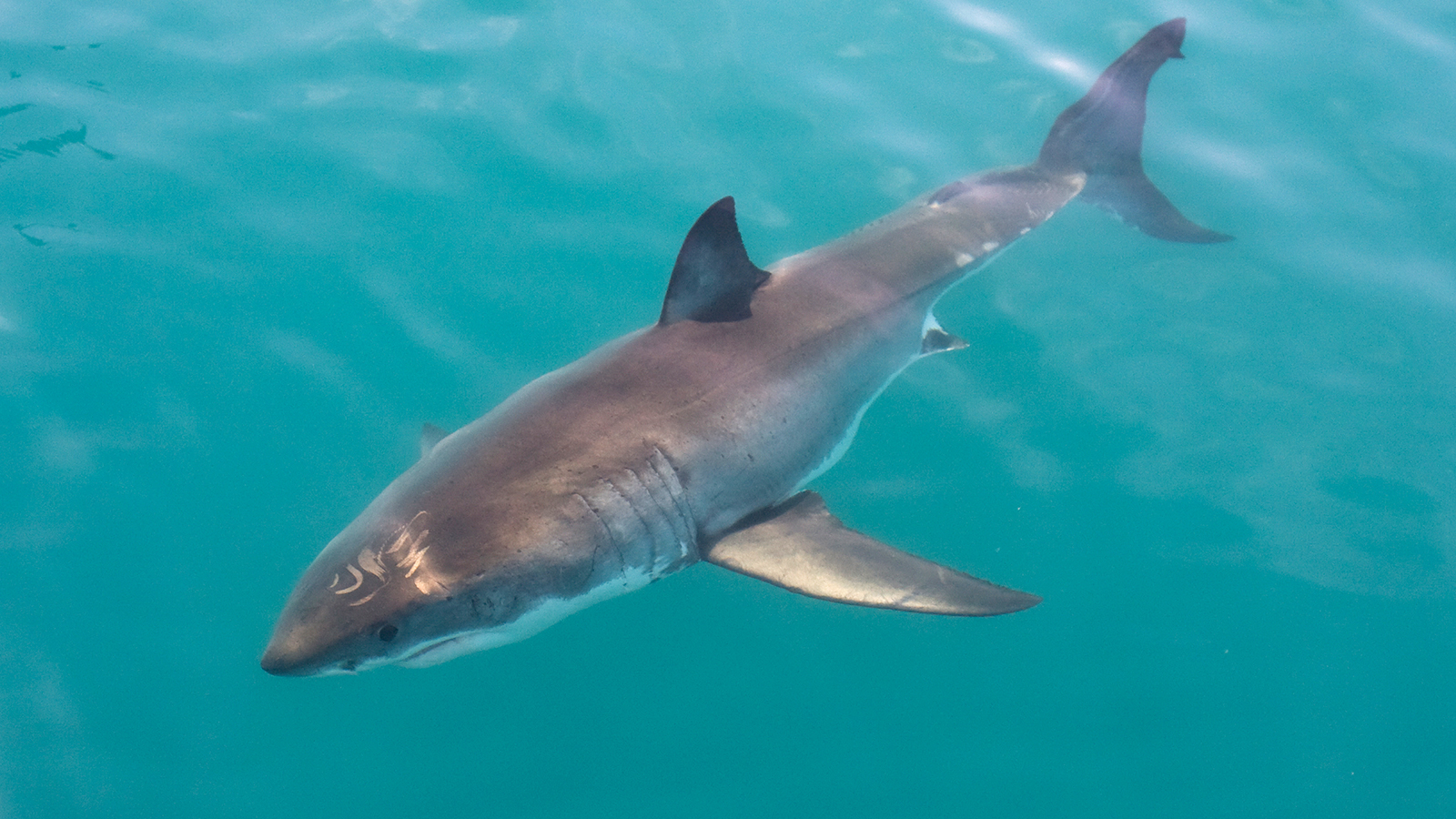 save the great white shark from Join us here at ng kids to learn ten facts about great white sharks what do great  white sharks eat how big are they find out all about these fierce fish.